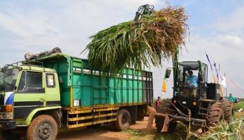 Foto RNI Kembangkan Bahan Baku Biofuel dari Rumput Gajah