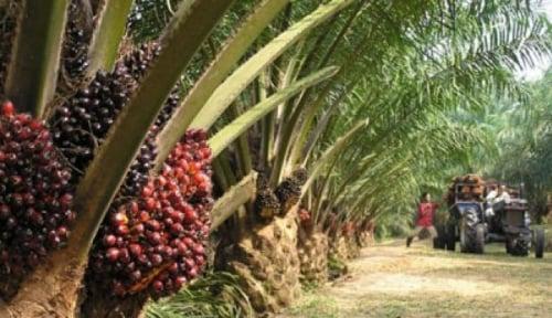 Foto Harga Sawit di Pabrik Mukomuko Masih di Rp1.430-Rp1.500 per Kg