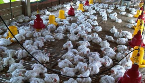 Foto Peternak Ayam Keluhkan Harga Jagung Naik dan Memburuk
