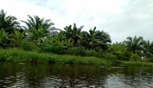 Foto Dinas Pertanian Mukomuko Adakan Program Peremajaan Sawit Rakyat