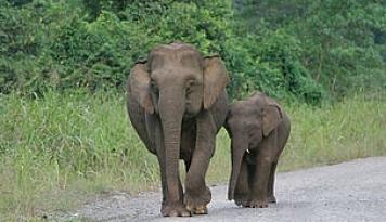 Foto Banyak Lembaga Konservasi Minati Gajah Sumatera