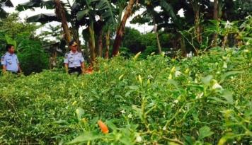 Foto Curah Hujan Tinggi, Petani Cabai Terancam Gagal Panen