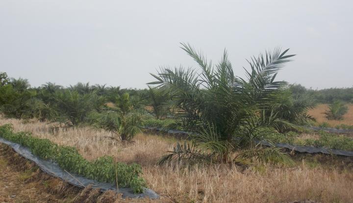 Foto Berita Integrasi Lahan Jagung-Sawit di Seruyan Capai 500 Hektare