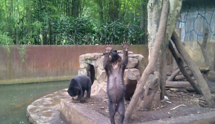 Foto Berita Wah, Bali Zoo Berhasil Kembangbiakkan Beruang Madu