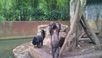 Foto Wah, Bali Zoo Berhasil Kembangbiakkan Beruang Madu