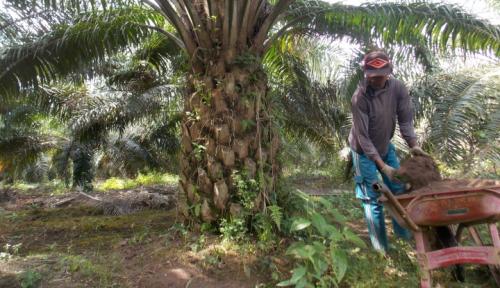 Foto Distan Mukomuko Pastikan Bantuan Kecambah Sawit Unggul Tidak Dijual
