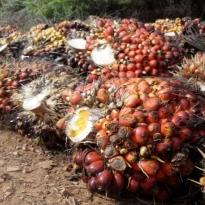UNSP Pede, Produksi Sawit Indonesia Tahun Ini Bisa Lebih Baik - Warta Ekonomi
