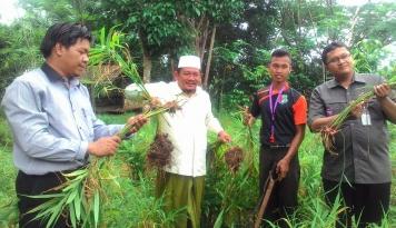 Foto Program Tanam Jahe Merah, Perkuat Ekonomi Pondok Pesantren di Baduy