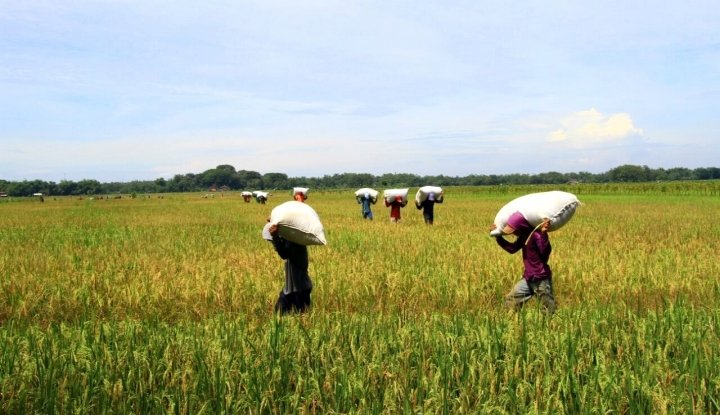 Foto Berita Petani Panen, Pemrov Banten Tolak Beras Impor