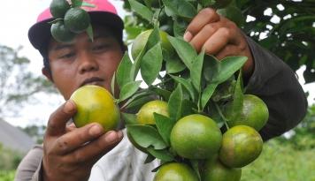 Foto Pemerintah Siap Kembalikan Kejayaan Jeruk Sambas