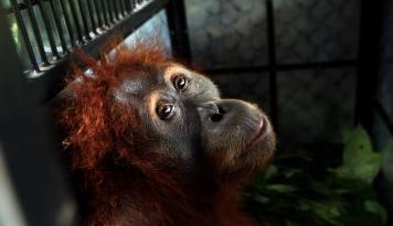 Foto Populasi Orangutan Makin Langka, Greenpeace Minta Pemerintah Bertindak