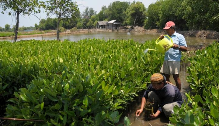 Foto Berita Mangrove Kebanggaan Pabean Udik