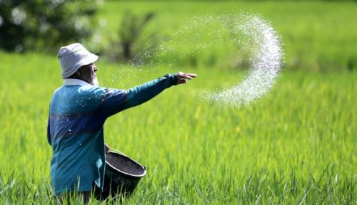 Foto Kementan Perkenalkan Cara Jitu Basmi Siput Murbai, Aman dan Alami