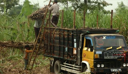 Foto CIPS: Produktivitas Gula Indonesia Paling Rendah