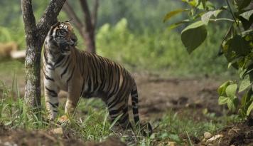 Foto Harimau Sumatera Serang Petani Karet di Jambi