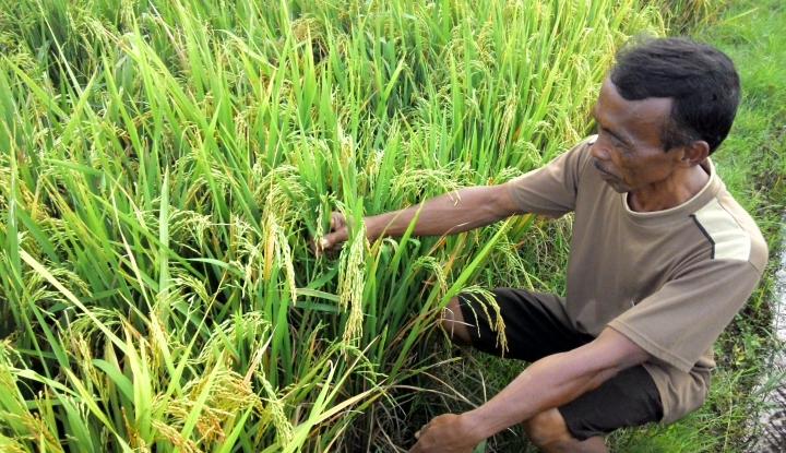 Foto Berita Petani Gandeng Dinas Pertanian Dapatkan Benih Padi Unggul