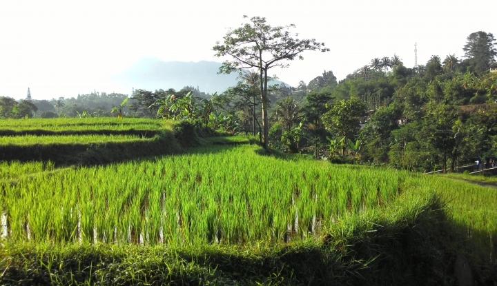 Foto Berita Bendungan Irigasi Jebol, Ratusan Hektare Sawah Terancam Kekeringan