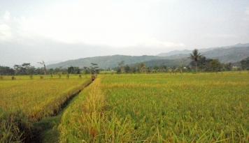 Foto Musim Kemarau, Ratusan Hektare Sawah Terancam