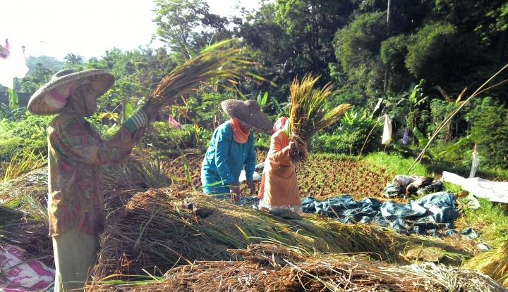 Foto Berita Ini yang Bikin Petani Senang saat Musim Panen
