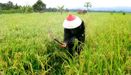 Foto Panen Padi di Bengkulu Terancam Gagal