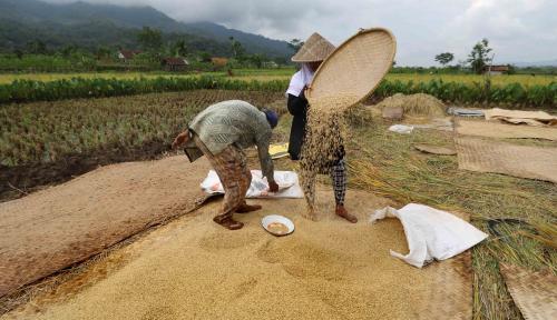 Foto Surplus Beras di Kotawaringin Timur Diprediksi Mampu Tembus 1.000 Ton