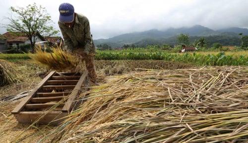 Foto Produksi Padi Sulawesi Barat Diprediksi Capai 326 Ribu Ton GKG