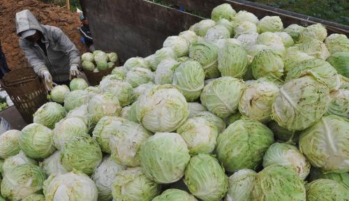 Foto Peluang Ekspor Sayuran ke Arab Saudi Sangat Besar
