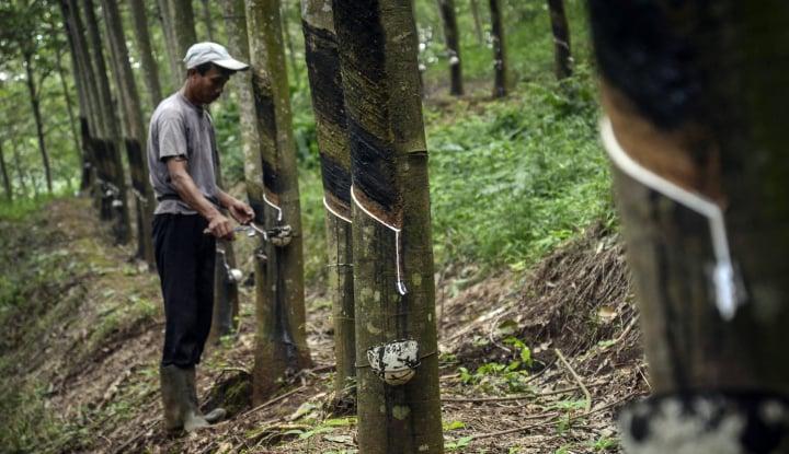 Foto Berita Harga Karet Anjlok, Petani Beralih ke Tanaman Lain