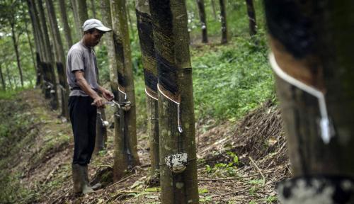 Foto Petani Mulai Keluhkan Harga Karet Yang Makin Mengenaskan