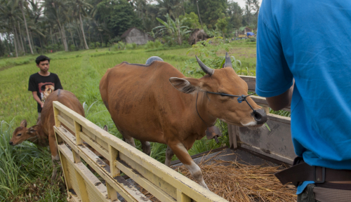 Foto Pemda Sumut Pastikan Stok Daging Sapi Aman Hingga Lebaran