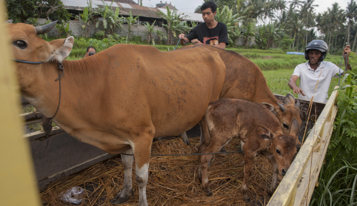 Foto Berita Harga Sapi di Sukabumi Naik, Perkilo Rp115 Ribu