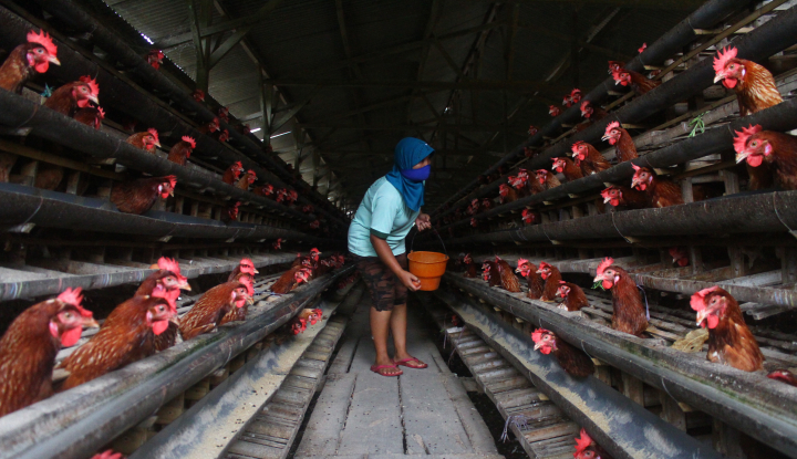 Foto Berita Jokowi: Peternakan di Tanah Air Berkembang Pesat
