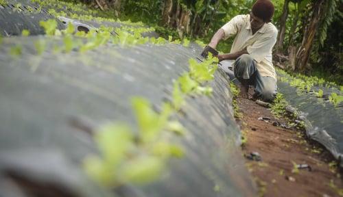 Foto Redupnya Pertanian Organik, Pemerintah Harus Ambil Peran