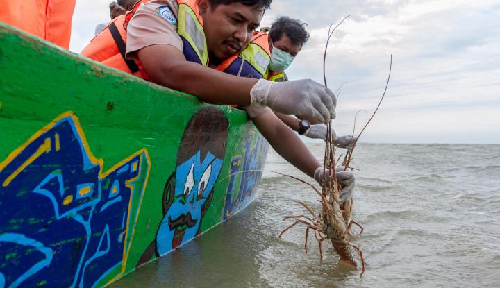 Foto Berita KIPM Lepas Liarkan 74 Ribu Benih Lobster Usai Gagalkan Penyelundupan