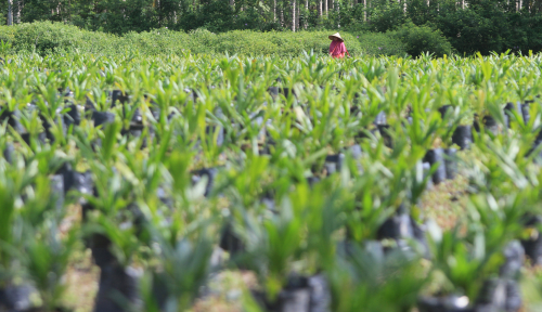 Foto BNI Perluas Penyaluran KUR Replanting Kelapa Sawit