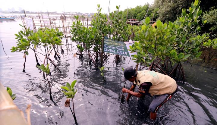 Foto Berita Lestarikan Alam, PT APP Tanam 145.000 Mangrove di Pantai Marunda