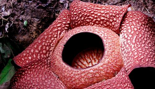 Foto Bunga Rafflesia Ditemukan Tumbuh di Belakang Rumah