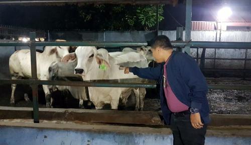 Foto Disidak KPPU, Peternak Sapi di Medan Jamin Stok Daging Aman Hingga Lebaran