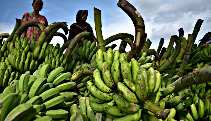 Mantul! Indonesia Ekspor Pisang dan Nanas Lampung ke Spanyol dan China - Warta Ekonomi