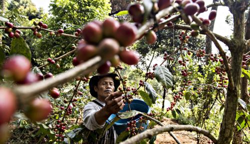 Foto Keren, Produksi Kopi di Indonesia Kian Membaik