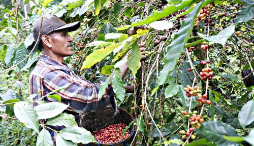 Foto Kopi Aceh Gayo Selamatkan Sektor Ekspor Nasional