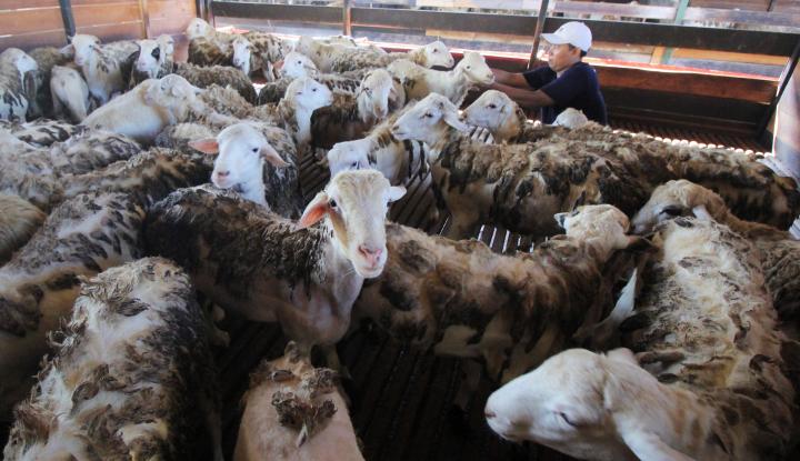 Foto Berita Arab Saudi Akan Kirim 17.000 Ekor Domba saat Lebaran Haji