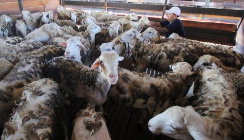 Foto Arab Saudi Akan Kirim 17.000 Ekor Domba Saat Lebaran Haji