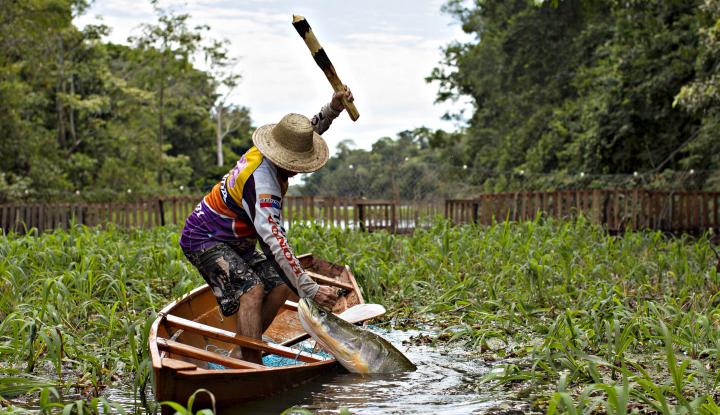 Foto Berita Peneliti LIPI Ungkap Bahaya Keberadaan Ikan Arapaima Gigas