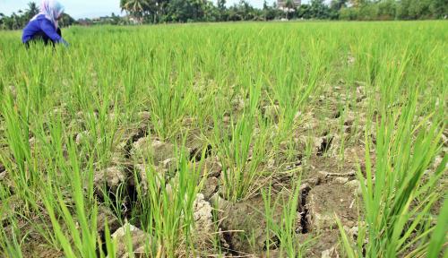 Foto Lahan Pertanian Terancam Kering Akibat Musim Kemarau