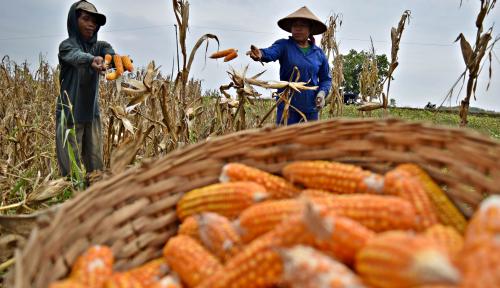 Foto Pengamat: Hasil Panen Petani Jagung Lokal Tak Mampu Diserap Pasar