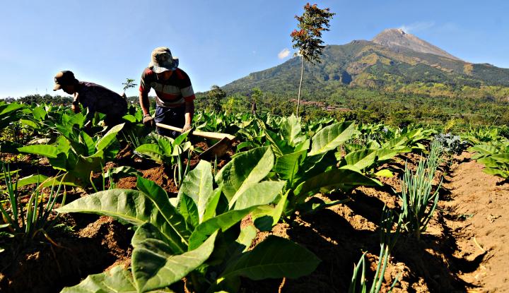 Indonesian Tobacco Mau Jual Tembakau ke India - Warta Ekonomi