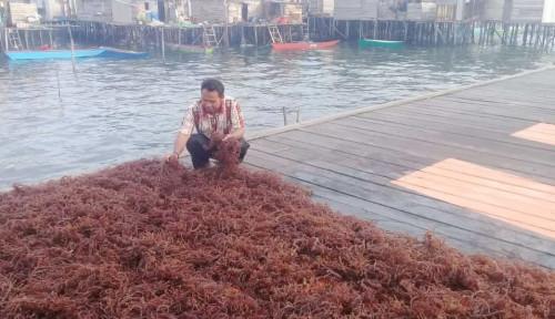Foto Rumput Laut Penunjang Sang Pengabdi