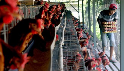 Foto Mau Naikkan Harga, Kemendag Serap Ayam Peternak