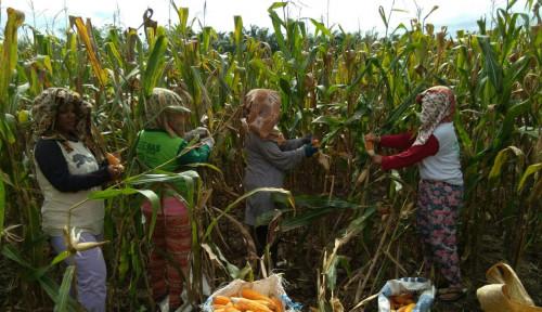 Foto Jokowi Berterima Kasih Pada Para Petani Soal Indonesia yang Tak Perlu Impor Jagung Lagi